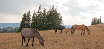 Wild Horses - Small herd with baby foal colt grazing at sunset in the Pryor Mountains Wild Horse Range in Montana USA. Wild Feral Horses - Small herd with baby Stock Photos