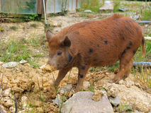 Wild Feral Pig, a pest Animal in New Zealand Stock Image