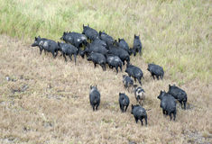 Wild feral pigs Royalty Free Stock Photos