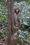 Feral Rhesus Monkeys Living in Zhangjiajie National Park China Stock Photos