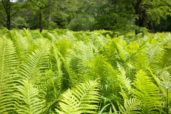 Wild fern Royalty Free Stock Photos