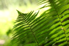 Wild fern. Green leaves of wild fern stock image
