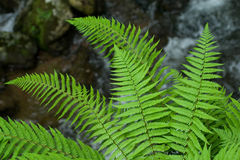 Wild fern Stock Photo