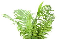 Wild fern bush  isolated Royalty Free Stock Images