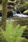 Wild fern near Torc Waterfall near Killarney, County Kerry. Ireland Royalty Free Stock Photos
