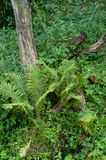 A wild fern next to an old tree stump stock photography