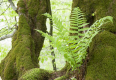 Wild fern Royalty Free Stock Photo
