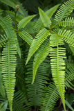 Wild Fern in Tropical wilderness Area Stock Photos