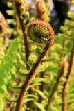 wild ferns Fotografering för Bildbyråer