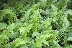 Wild Ferns. Group of Wild Ferns in the Mountains of North Carolina Stock Photo