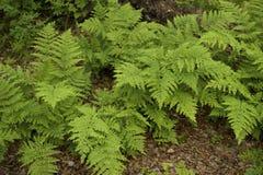 Wild ferns Stock Photo