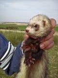 Wild Ferret Stock Images