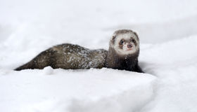 Wild ferret in snow Royalty Free Stock Image