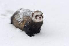 Wild ferret in snow Royalty Free Stock Images
