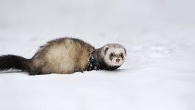 Wild ferret in snow Stock Images