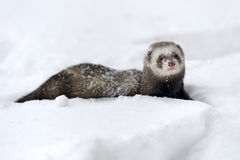 Wild ferret in snow. Beautiful wild ferret game in snow stock image