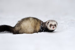 Wild ferret in snow. Beautiful wild ferret game in snow stock photography