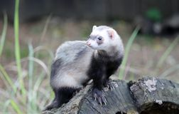 Wild Ferret on tree stump Stock Photo