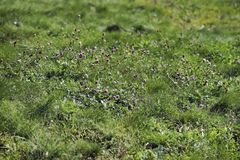 Wild field of clover. Spring, summer day. Concept of seasons, ecology, green planet, Healthy, natural green pharmacy Royalty Free Stock Images