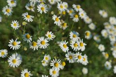 Wild field of daisys flowers, chamomile. Spring, summer day. Concept of seasons, ecology, green planet, Healthy, natural Stock Images