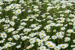 Wild field of daisys flowers in the wind. Summer day. Concept of seasons, ecology, green planet, Healthy, natural green Royalty Free Stock Photos