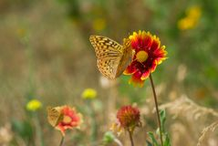 Wild field with feral Indian blanket flowers Stock Photos