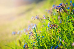 Wild field of flowers. Wild meadow pink flowers on morning sunlight background. Spring field background Royalty Free Stock Photo