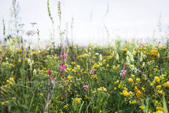 Wild field flowers in the steppe of Siberia. Royalty Free Stock Images