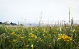 Wild field flowers in the steppe of Siberia. Stock Images