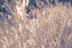 Wild field of grass on sunset, soft sun rays, warm toning, lens Royalty Free Stock Photos