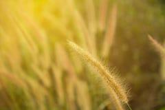 Wild field of grass on sunset, soft sun rays, warm toning, lens Royalty Free Stock Photo