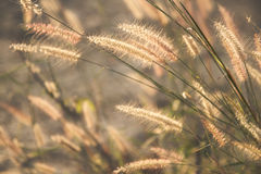 Wild field of grass on sunset, soft sun rays, warm toning, lens Stock Image