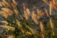 Wild field of grass on sunset, soft sun rays, warm toning, lens Stock Photos