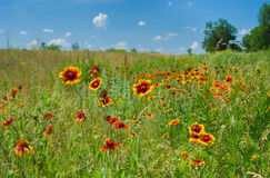 Wild field with Indian blanket flowers Stock Photo