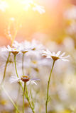 Wild field plant camomile. The medicinal field blossoming plant - a camomile Royalty Free Stock Image