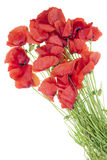 Wild field  poppies bouquet Stock Image