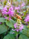 The bees that gather honey in purple flowers. royalty free stock photography