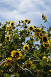 Wild field of sunflowers against a blue sky with clouds. Stock Photo