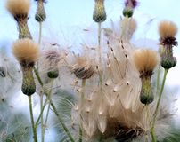 Wild field thistle against the blue sky. The wind carries seeds Royalty Free Stock Photography