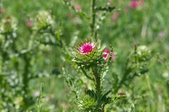 Wild field of thistles. Cirsium at start of flowering time in Ukraine stock photos