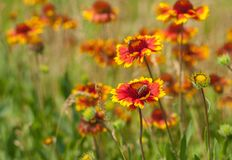 Free Wild Field With Beautiful Feral Indian Blanket Flowers Stock Photo - 105570210