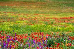 Wild green fields with flowers royalty free stock images
