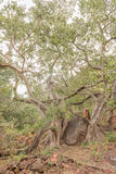 Wild fig tree growing around boulder at the Waterberg Plateau Stock Images