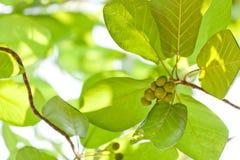 Wild figs Royalty Free Stock Photo