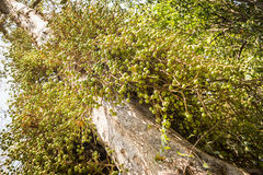 Wild Figs on Fig Tree Stock Photography