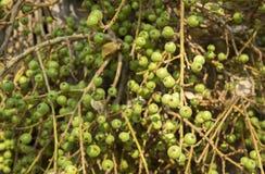 Wild Figs on Fig Tree Stock Photo