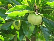 Wild figs It grows in Abkhazia. royalty free stock photos