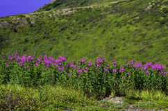 Wild Fireweed Royalty Free Stock Images