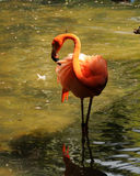 Wild flamingo Stock Photography