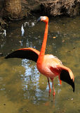 Wild flamingo Stock Images